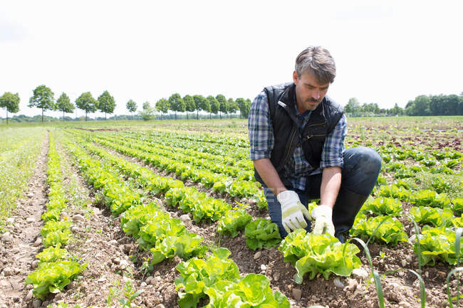 Organic farmer harvesting lettuce — Stock Photo