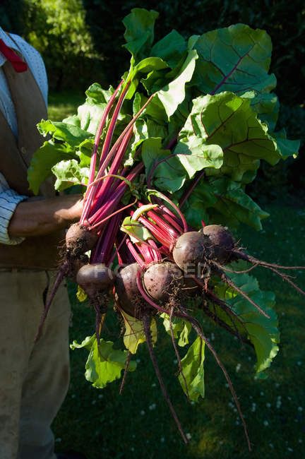 Farmer holding bunch of beetroots — Stock Photo