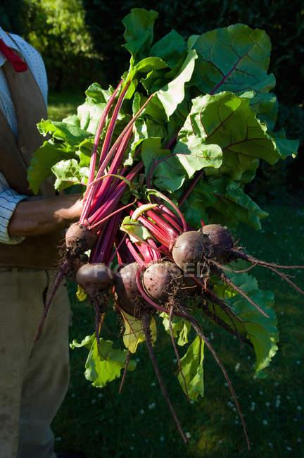 Фермер холдингу купу beetroots — стокове фото