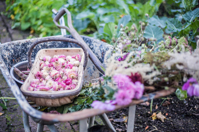 Picked flowers, Helichrysum bracteatum, in wheelbarrow — Stock Photo