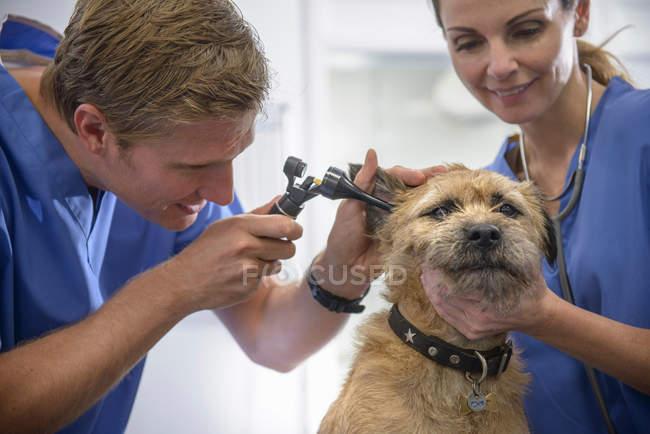 Veterinari che ispezionano le orecchie di cane con otoscopio sul tavolo in chirurgia veterinaria — Foto stock