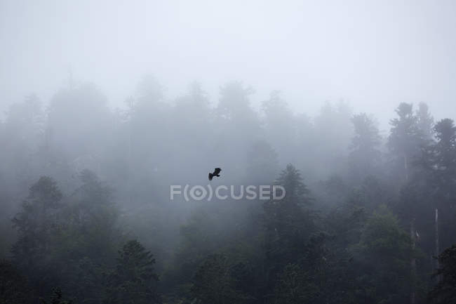 Eagle flying over misty forest — Stock Photo