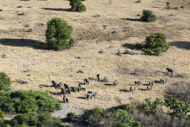 Аэрофотоснимок африканских слонов стадо в луга, Дельта Окаванго, Ботсвана — стоковое фото