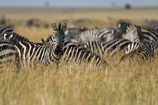 Равнины зебр, ходить в Масаи Мара, Кения, Африка — стоковое фото