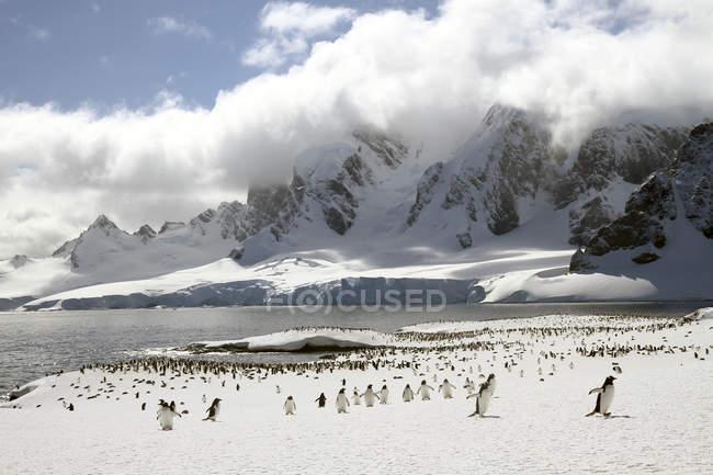 Pingüinos Gentoo caminando sobre la nieve - foto de stock