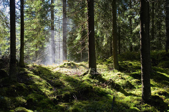 Пышный зеленый лес — стоковое фото