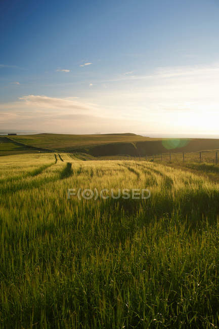 Sun lighted tall grass in rural field with blue sky — Stock Photo