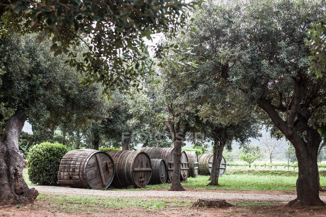 Olive grove near Marciana — Stock Photo
