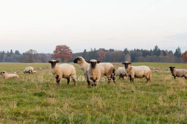 Sheep grazing in field — Stock Photo