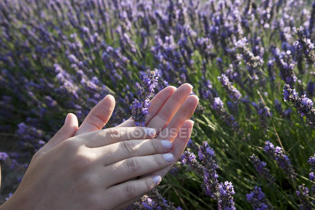 Close up of womans hands holding lavender flowers, Provence, France — Stock Photo