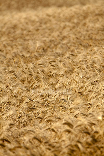 Stalks in wheat field in bright sunlight — Stock Photo