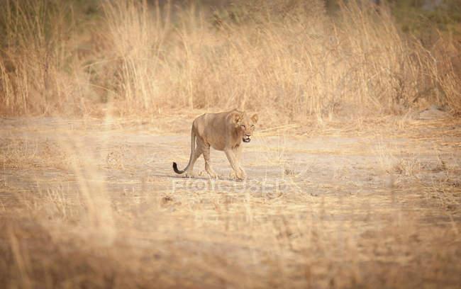 Lions dans la chaleur extrême du Parc National de Waza — Photo de stock