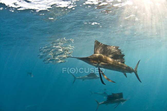 Atlantischer Segelfisch schwimmt unter blauem Wasser — Stockfoto
