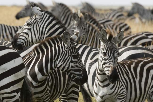 Стадо рівнини зебр в Масаї Мара, Кенія, Африка — стокове фото