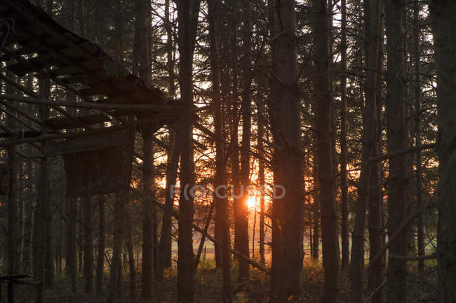 Sunlight shining through trees in forest at sunset — Stock Photo