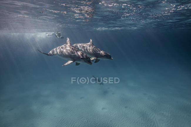 Vista submarina del buceador siguiendo delfines - foto de stock