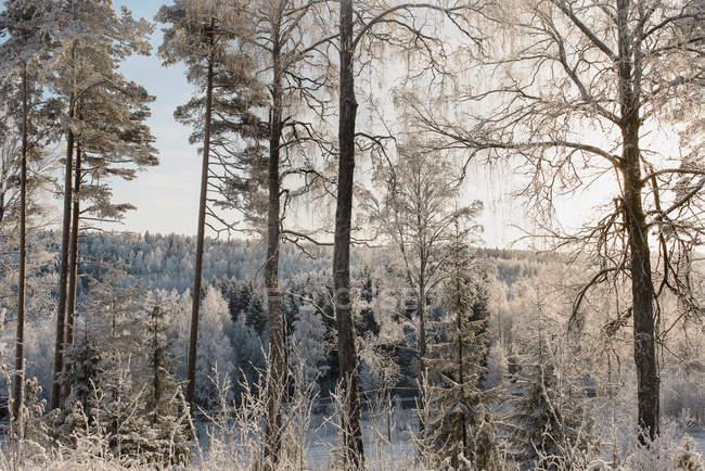 Neve coberta de floresta com árvores congeladas — Fotografia de Stock