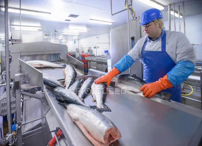 Работник производственной линии по выращиванию лосося на пищевой фабрике — стоковое фото