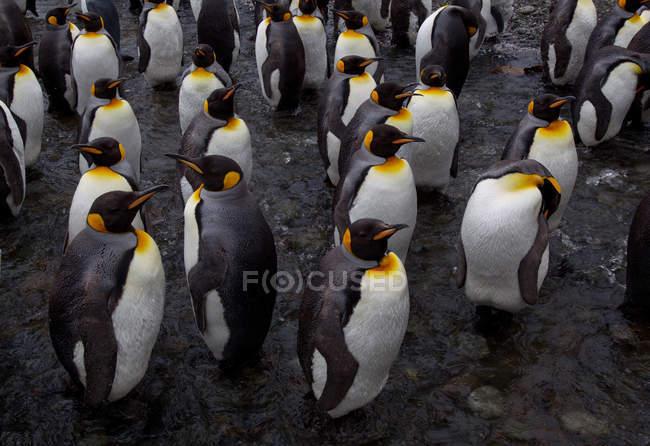 Königspinguine auf Macquarie-Insel — Stockfoto