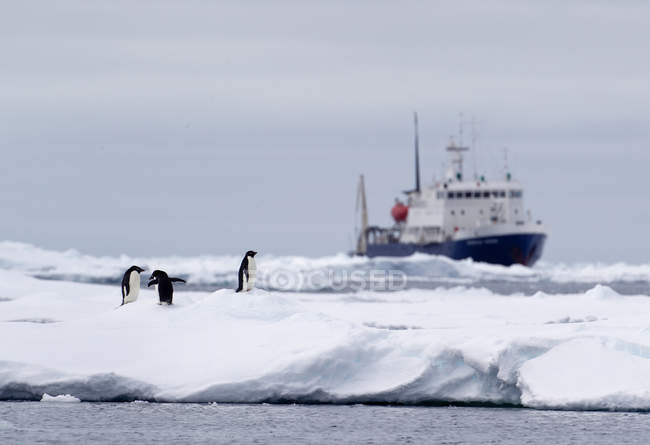 Les manchots Adélie sur la banquise, expédier loin dans l'océan Austral, 180 miles au nord de l'Antarctique oriental, Antarctique — Photo de stock