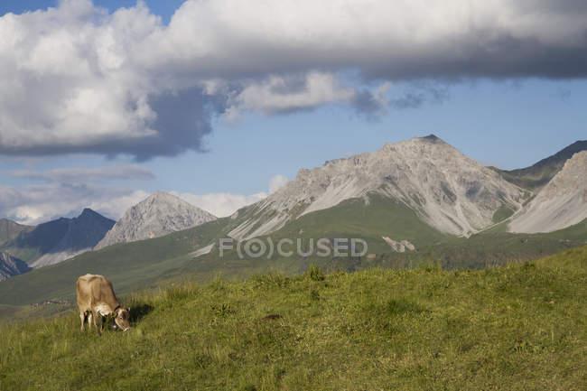 Cow grazing in field, Schanfigg, Graubuenden, Switzerland — Stock Photo