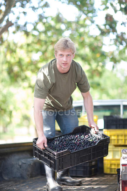 Homem que levanta a caixa de azeitonas no olival — Fotografia de Stock