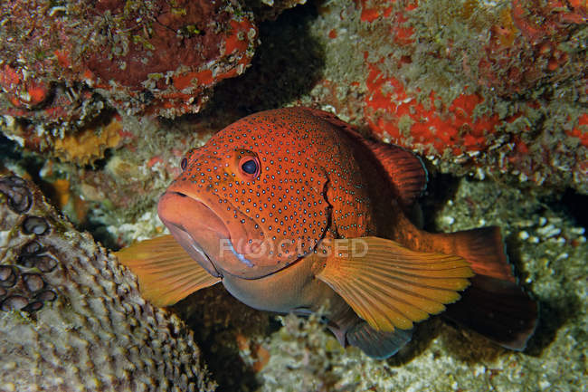 Coney fish on coral reef, Cancun, Quintana Roo, Mexico — Stock Photo