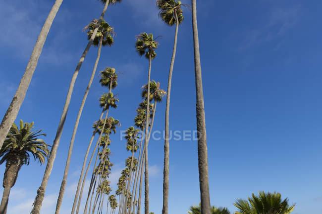 Vista de ângulo baixo de palmeiras altas sob o claro céu azul — Fotografia de Stock