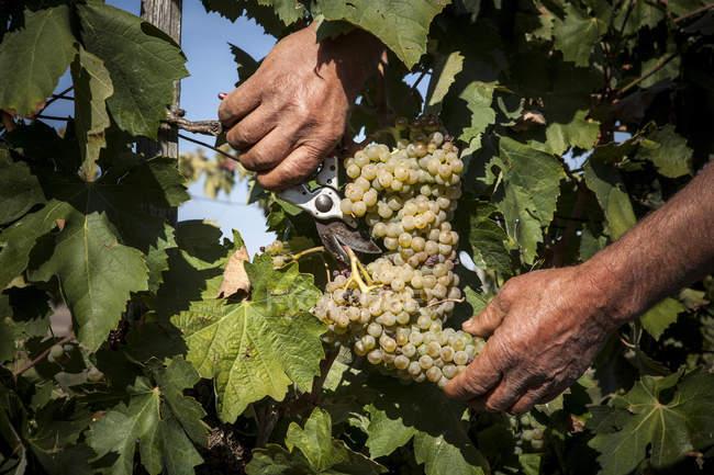 Резка белого винограда с мужской руки — стоковое фото