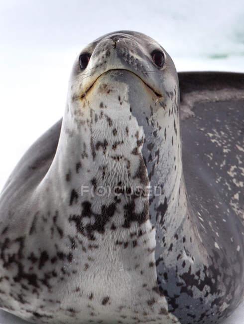 Sigillo leopardato su iceberg — Foto stock