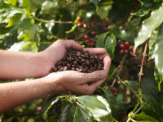 Hands Holding Roasted Coffee Beans, close-up partial view — Stock Photo