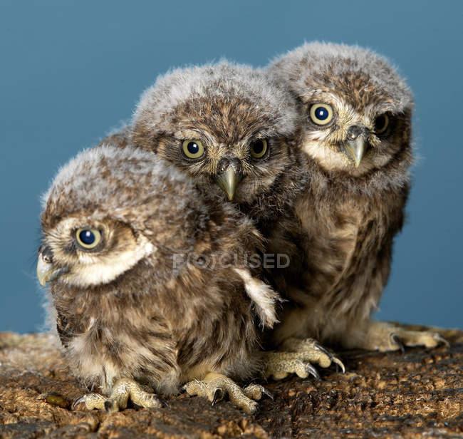Baby Owls posado en la rama del árbol con fondo azul — Stock Photo