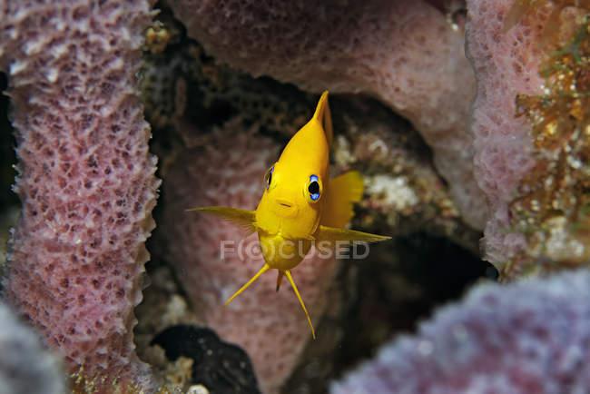Rock giovanile bellezza pesci nella barriera corallina, Cancun, Quintana Roo, Messico — Foto stock