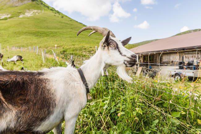 Retrato de cabra curiosa mirando la cámara en Tirol, Austria - foto de stock