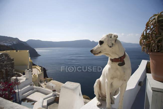 Hund auf der Suche über die Schulter auf See Blick, Oia, Santorini, Kykladen, Griechenland — Stockfoto