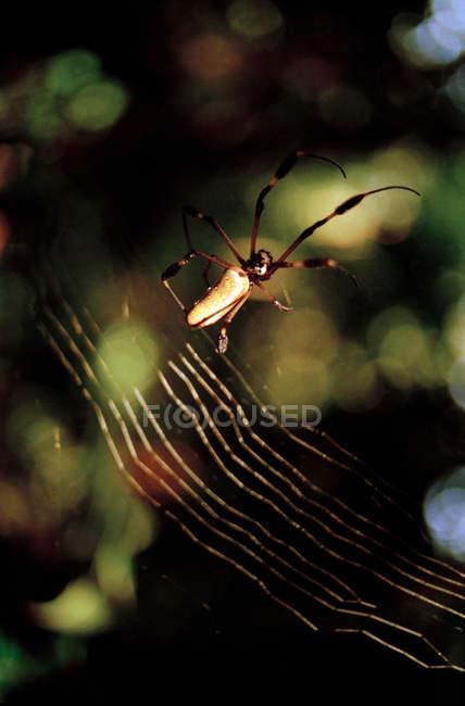 Golden orb-web Spider assis en net — Photo de stock