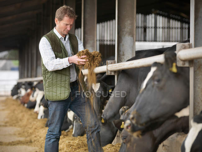 Farmer inspecting feed with cows in dairy shed — Stock Photo