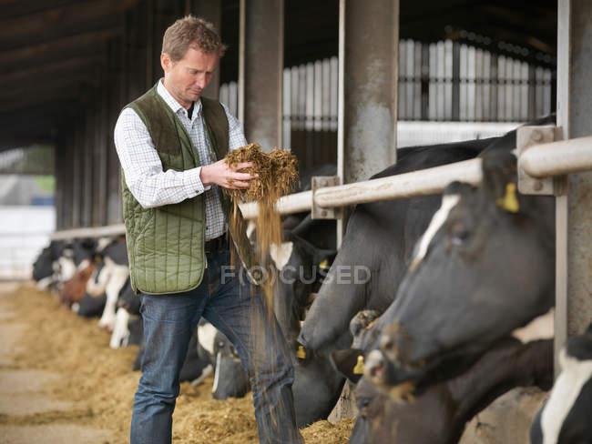 Ispezione dei mangimi da parte degli allevatori con vacche in stalla — Foto stock
