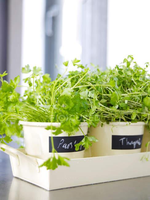 Кухня трави в горщиках — стокове фото
