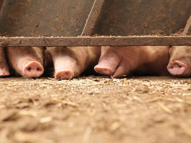 Cerdos que comen granos bajo la puerta de la granja - foto de stock