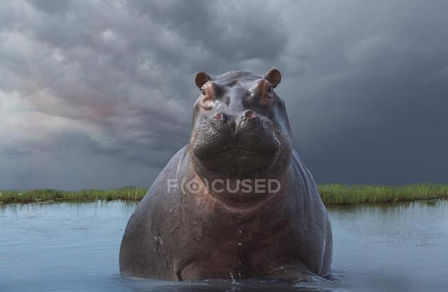 Hippo or Hippopotamus amphibius in water looking at camera, botswana, africa — Stock Photo