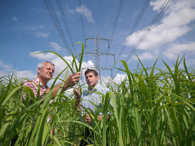 Biomass fuel Miscanthus for burning in power stations — Stock Photo