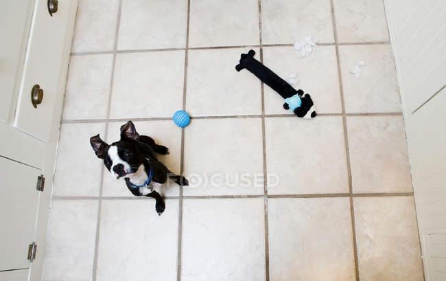 Blick von oben auf den Boston Terrier, der mit Spielzeug auf dem Küchenboden sitzt und nach oben schaut — Stockfoto