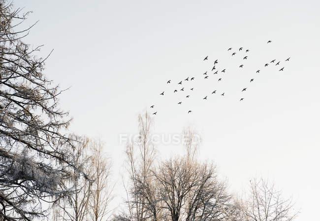 Bandada de pájaros volando sobre árboles cubiertos de nieve - foto de stock