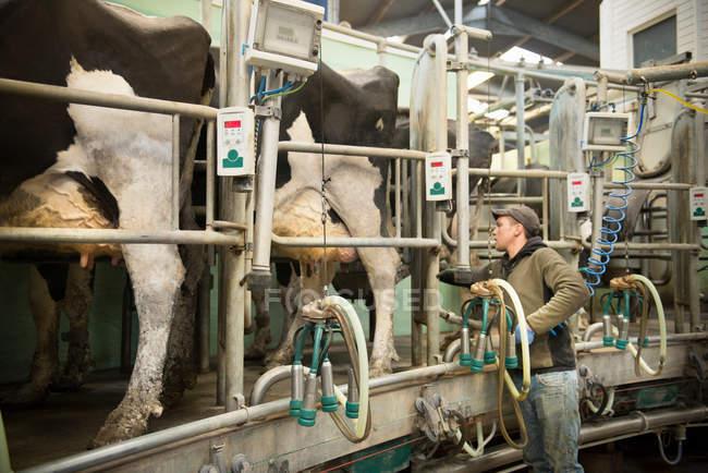 Agricultor que utiliza aglomerado de leite para ordenhar vacas em ordenha na exploração leiteira — Fotografia de Stock