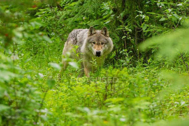 Сірий вовк в лісі, Золотий, Британська Колумбія, Канада — стокове фото
