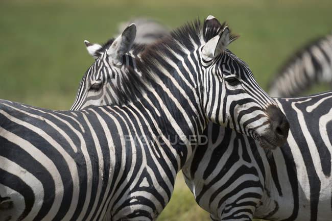 Загальні зебр в Національний парк Амбоселі, Кенія, Африка — стокове фото