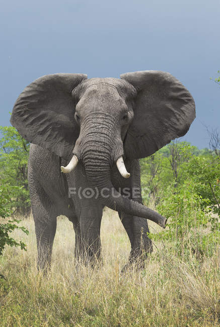 African elephant or Loxodonta africana looking at camera while grazing in wild, botswana, africa — Stock Photo