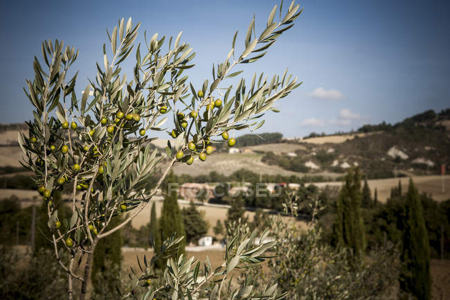 Olive tree, Siena, Valle Orcia, Tuscany, Italy — Stock Photo