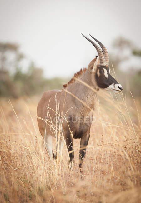 Hippotrague erre dans le Parc National de Waza — Photo de stock